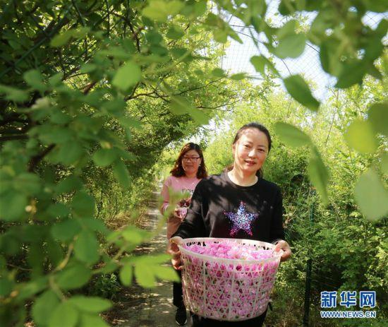 """江苏海安:玫瑰花铺就农民致富""""芬芳之路"""""""