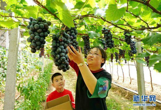 (社會)(1)河北盧龍:小葡萄大產業