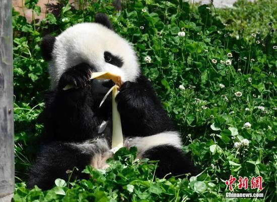 资料图:熊猫宝宝。安源 摄 据报道,多年来,大熊猫一直在国际自然保育联盟(IUCN)濒危物种的《红色名录》内。为保护大熊猫,中国重新种植供它们食用的竹林,并为动物园筹措资金,以便园方饲养并帮助繁衍大熊猫,被视为生物保育的典范。蓝鳍吞拿鱼亦因各地制订更严格的捕捞上限,数目终于得以回升。 然而,植物雪松和鲨鱼的保育情况依旧不容乐观。 雪松被视为黎巴嫩的国树,本是当地常见的植物。可是,气候变化影响了水循环,雪松受到了更多的害虫威胁,被IUCN列入《红色名录》的脆弱类别。黎巴嫩农业部在2012年提出计划,将于