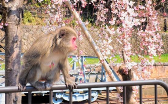 读者提供照片:出现在京都景区的猴子(图片来源:朝日新闻网站)