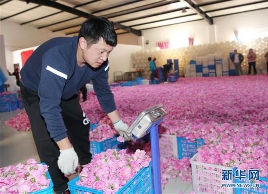 """南通海安:玫瑰花铺就农民致富""""芬芳之路"""""""