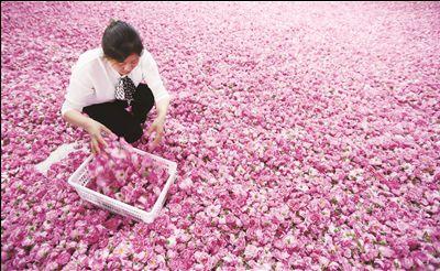 5日,南通海安市城东镇壮志街道石庄村,农民在整理待售玫瑰花.