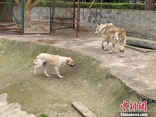 """动物园""""狗狼同笼""""引热议园方回应:没必要分开"""