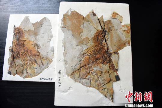 """中国发现1.6亿年前侏罗纪具膜质翅膀恐龙""""长臂浑元龙"""""""