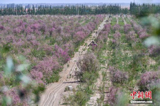 新疆和田:管花肉苁蓉种植助农增收