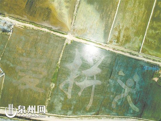 晋江九十九溪流域田园风光拓展区 五幅稻田彩绘初见雏形