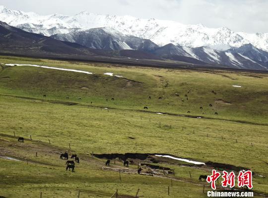雪域祁连山下山丹军马场马匹、牦牛觅食忙