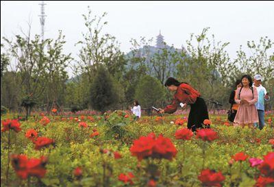 南通植物园蔷薇园繁花盛开 吸引游客拍摄观赏
