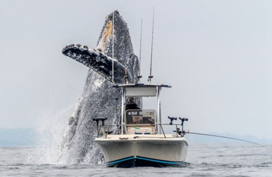 惊叹!座头鲸从海中跃起在渔船正前方翻身表演
