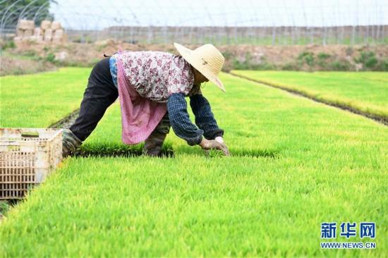 安徽全椒:规模化育秧助农增收