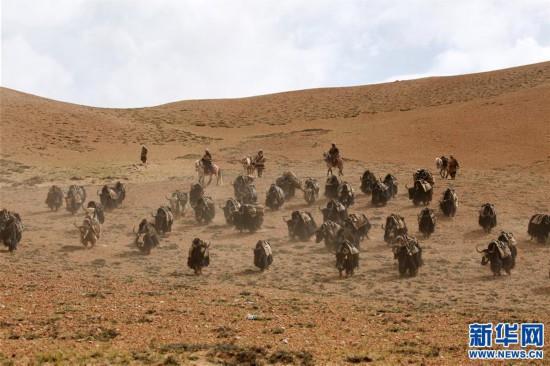 (专发新华网西藏频道)(图文互动)天边的驮盐队――藏北牧人远去的背影(21)