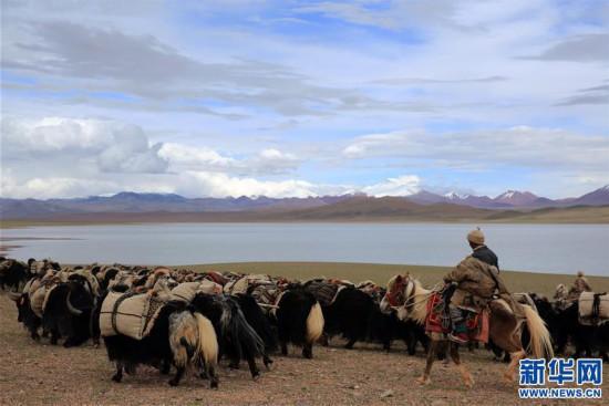 (专发新华网西藏频道)(图文互动)天边的驮盐队――藏北牧人远去的背影(2)