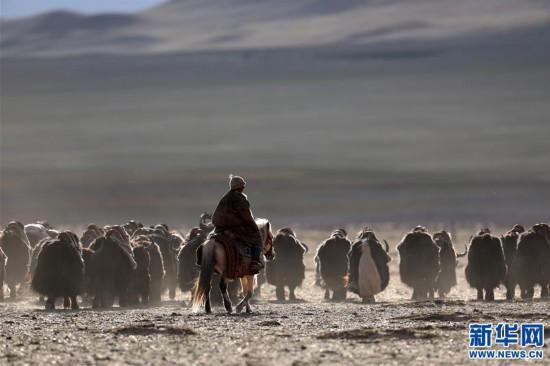 (专发新华网西藏频道)(图文互动)天边的驮盐队――藏北牧人远去的背影(23)