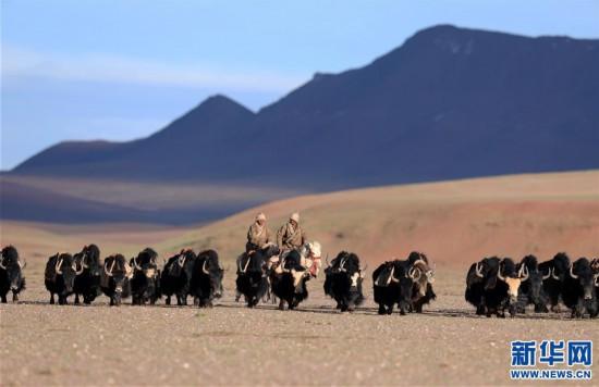 (专发新华网西藏频道)(图文互动)天边的驮盐队――藏北牧人远去的背影(25)