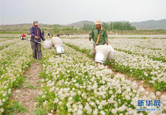 (经济)(1)河北卢龙:中药材种植开辟致富新路