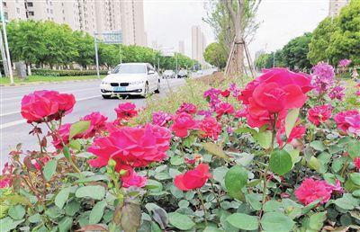 南通海门街头市花月季盛开扮靓城市