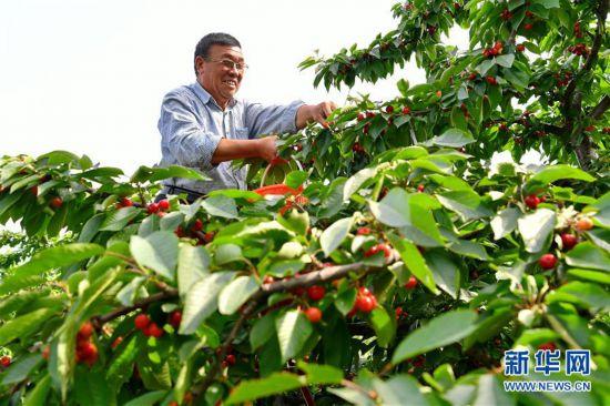(经济)(1)山西万荣:樱桃种植促增收