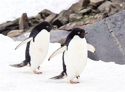 氣候和地形地貌影響著企鵝棲息地演化