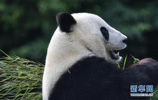 """(社会)(1)旅美大熊猫""""白云""""""""小礼物""""回到家乡四川"""