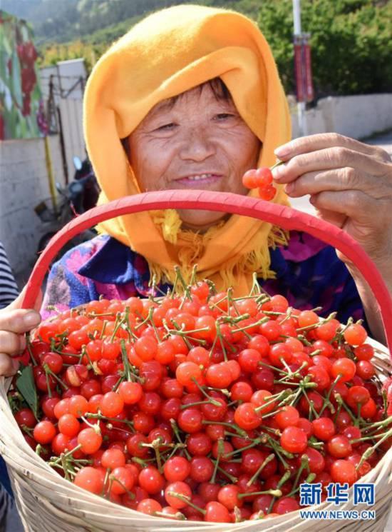 (社会)(3)山东青岛:樱桃丰收 采摘助农
