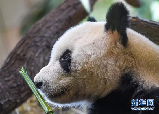 """(国际)(1)大熊猫""""园园""""正式亮相维也纳"""