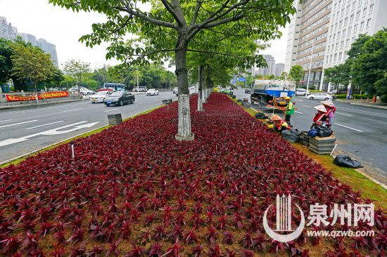 11万株孔雀草和赤壁鸡冠美化泉州市丰海路