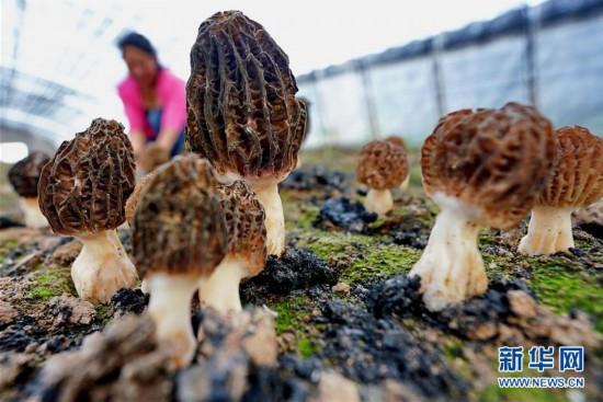 (经济)(1)河北迁安:食用菌培育富农家
