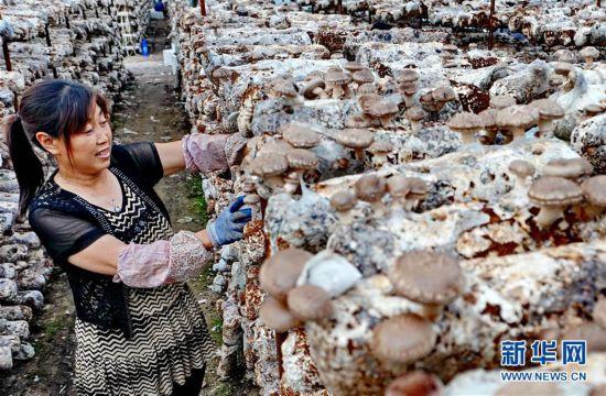 (经济)(2)河北迁安:食用菌培育富农家