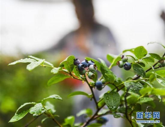 """(经济)(1)美丽乡村开启 """"水果采摘季"""""""