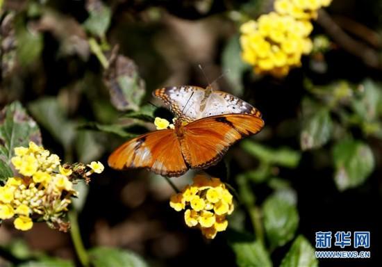 美國洛杉磯自然歷史博物館舉行蝴蝶展