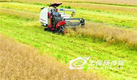 无锡太湖水稻示范园油菜田迎来收获季节