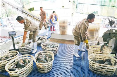 """让海南罗非鱼""""畅游国内""""进一步拓宽销售渠道、丰富产品品类,促进出口、内销齐头并进"""