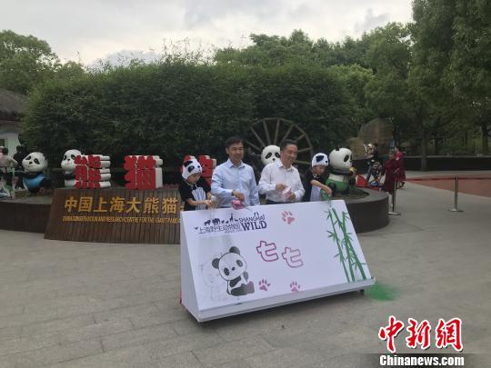 """上海野生动物园大熊猫宝宝得名""""七七""""性格活泼爱爬高"""