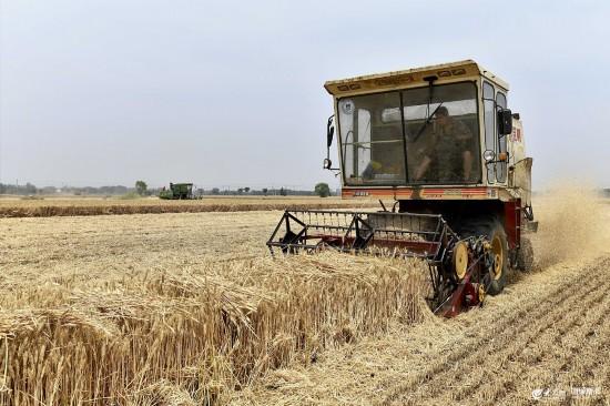 鲁南小麦开镰收获 田间地头一片繁忙