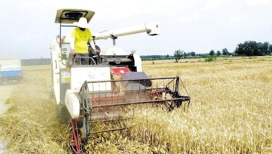 淮安市淮安区抢抓晴好天气组织开展小麦收割