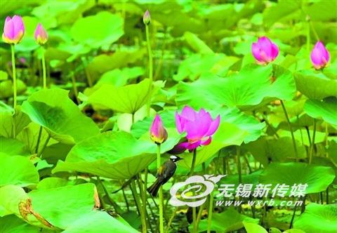 初夏无锡贡湖湾湿地荷花逐渐绽放 吸引游客