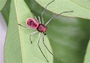 云南西双版纳植物园内发现蜘蛛新种