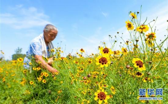 (经济)(1)菊花种植富农家