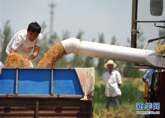 """(经济)(1)""""渤海粮仓""""麦收忙"""
