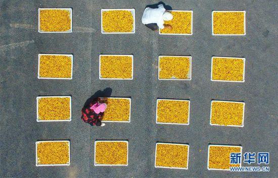 (经济)(2)菊花种植富农家