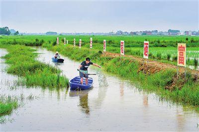 """港北区探索出""""一稻三虾""""生态种养模式"""