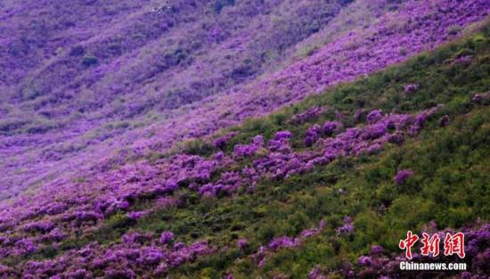 甘肃天祝县满山遍野盛开着紫杜鹃 宛如紫色地毯