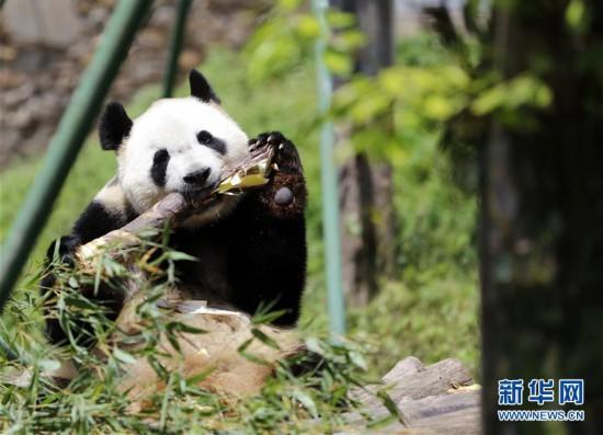 """广州长隆:全球唯一大熊猫三胞胎姐姐""""萌萌""""成功交配"""