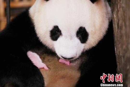 """大熊猫""""成大""""和新生宝宝在一起。成都大熊猫繁育研究基地供图"""