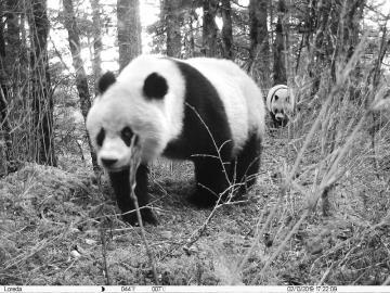 黃龍首次拍到野生大熊貓母子同框