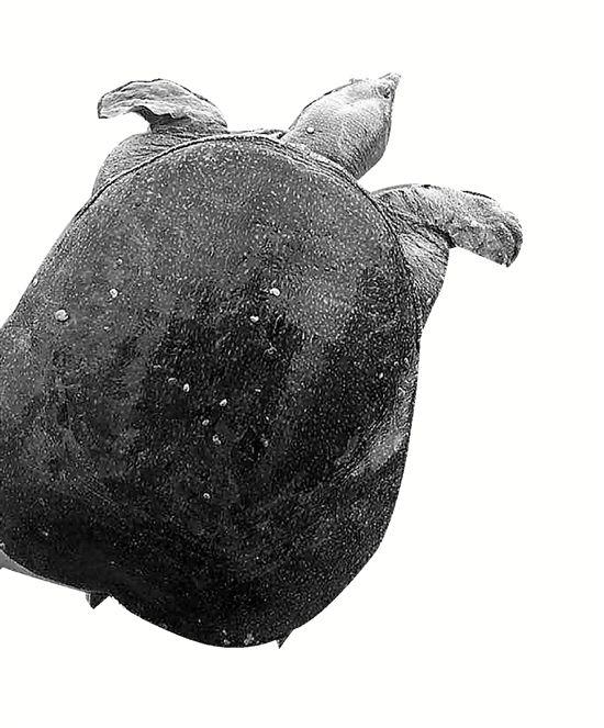 福寿螺啃光千亩荷塘甲鱼卫士出动,效果杠杠的