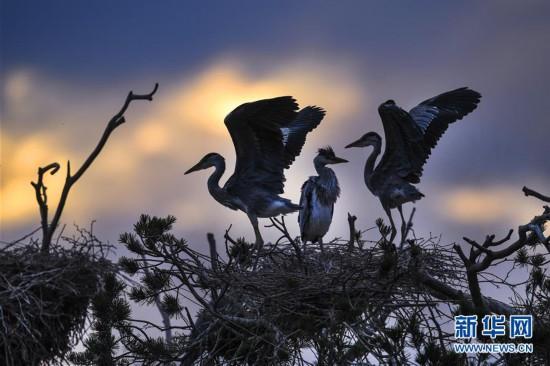 陕西洛南周湾村:百只苍鹭从南方迁徙而来