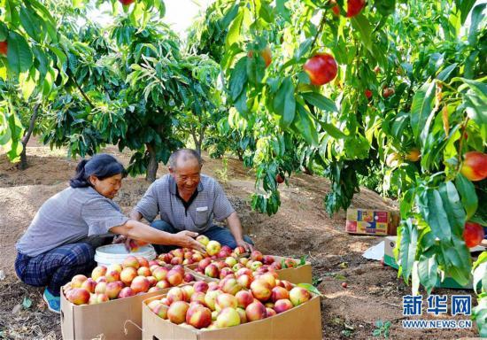 (经济)(1)河北抚宁:林果富农家
