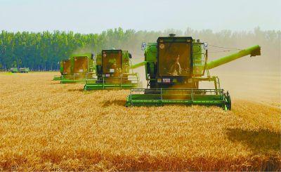 京郊:12万亩小麦丰收