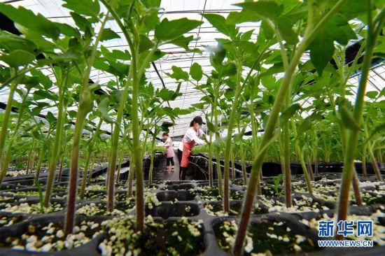 (经济)(1)河北滦州:专业育苗富农家